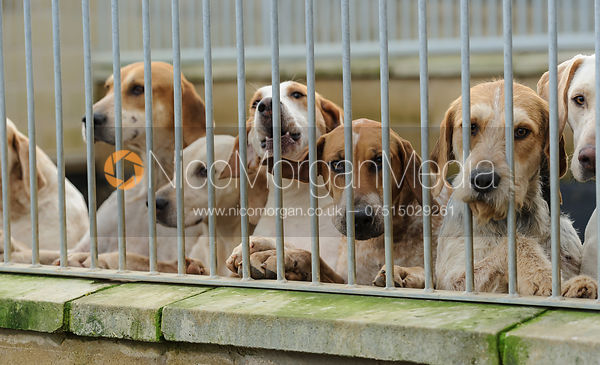 Cottesmore hounds in their kennels