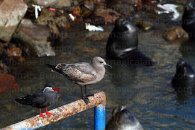 Royal or Inca tern (Lorosterna inca, left) and Grey Gull (Leucophaeus modestus)