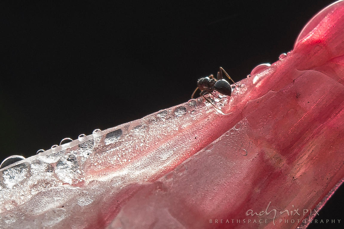 An ant drinking from water droplets left by the mist on a fire lily