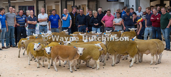 Hutchinson Photography - Farm Images   Showing Texel sheep