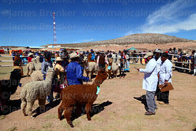 Judges discuss the qualities of alpacas during competition, Curahuara de Carangas, Bolivia