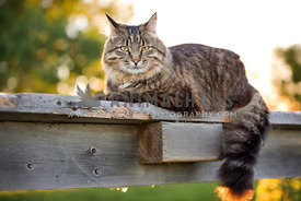 fluffy cat laying on fence in the sun