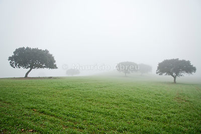 Holm oaks in a foggy day. Redondo, Alentejo. Portugal