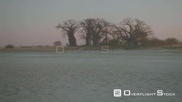 Aerial long shot wide angle group of baobab trees on the edge of salt pan in desert at sunset sunrise Botswana