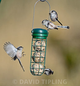 Long-tailed Tits  on fat ball feeder in garden Norfolk