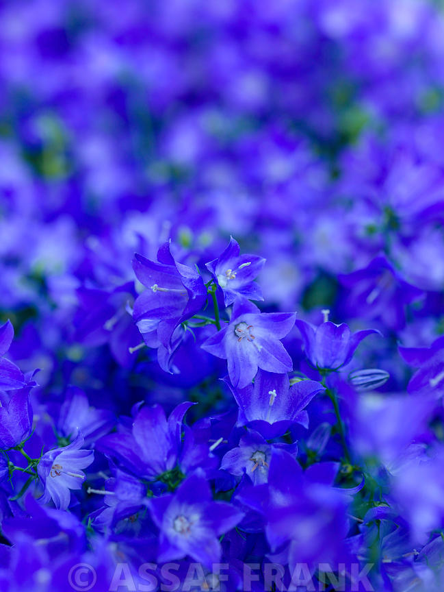 Full frame of blue Campanula flowers