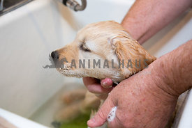 golden Retreiver puppy having a bath in a sink