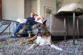 couple with senior boxer dog in living room
