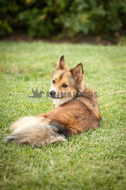 Small-Brown-Dog-Mixed-Collie-Breed-Laying-In-Grass-of-Yard-at-Home