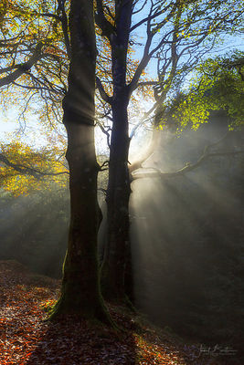 Morning mist through beech trees in autumn, The Arch