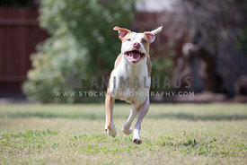 dog running with open mouth and eye contact
