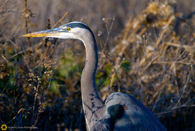 Great Blue Heron #7