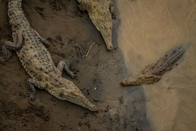 American crocodiles (Crocodylus acutus) in the Rio Tarcoles, Costa Rica.