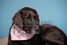 "close up of older dark brown lab/hound mix wearing ""snuggle bunny"" bandana"