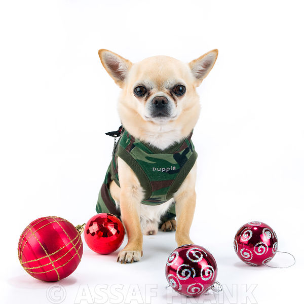 Dog with christmas baubles