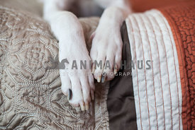 Close up of white short hair dogs paws on a bed