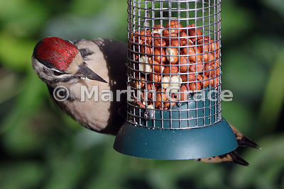 Juvenile Great Spotted Woodpecker (Dendrocopus major) feeding on peanuts at a garden feeding station, Cumbria, England