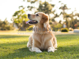 pretty young golden retriever dog laying in grass looking to side