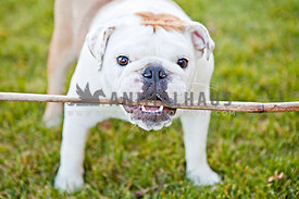 bulldog playing outside with a stick