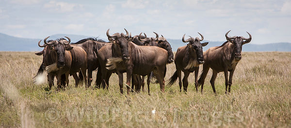 A herd of White bearded wildebeest (Connochaetes mearnsi/albojubatus), Serengeti National Park, Tanzania; Landscape
