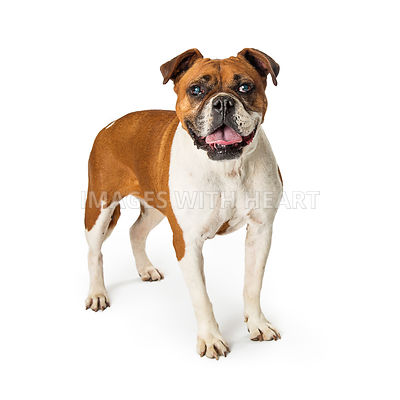 Boxer Bulldog Crossbreed Standing Over White