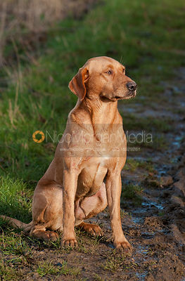 Yellow labrador gun dog on a game shoot in Leicestershire