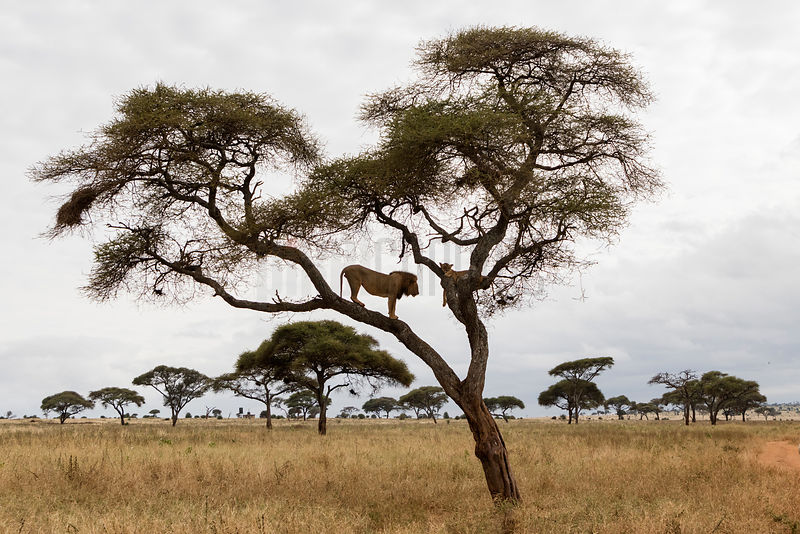 A Male Lion Dutifully Waits in a Tree while a Female in Oestrus Sleeps