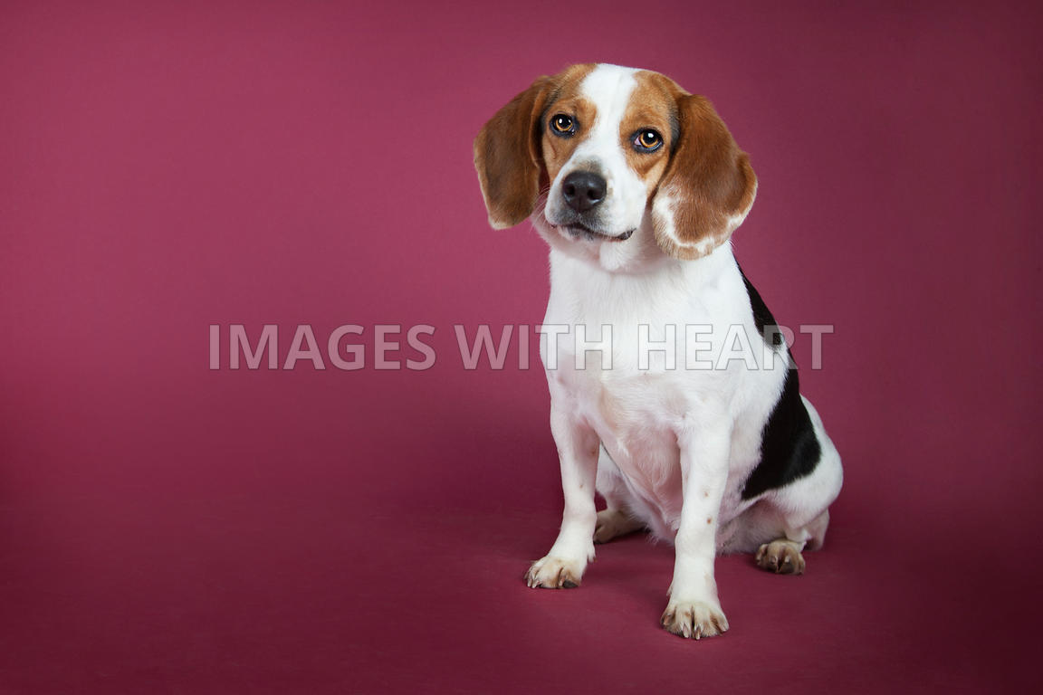 Sitting beagle on red background