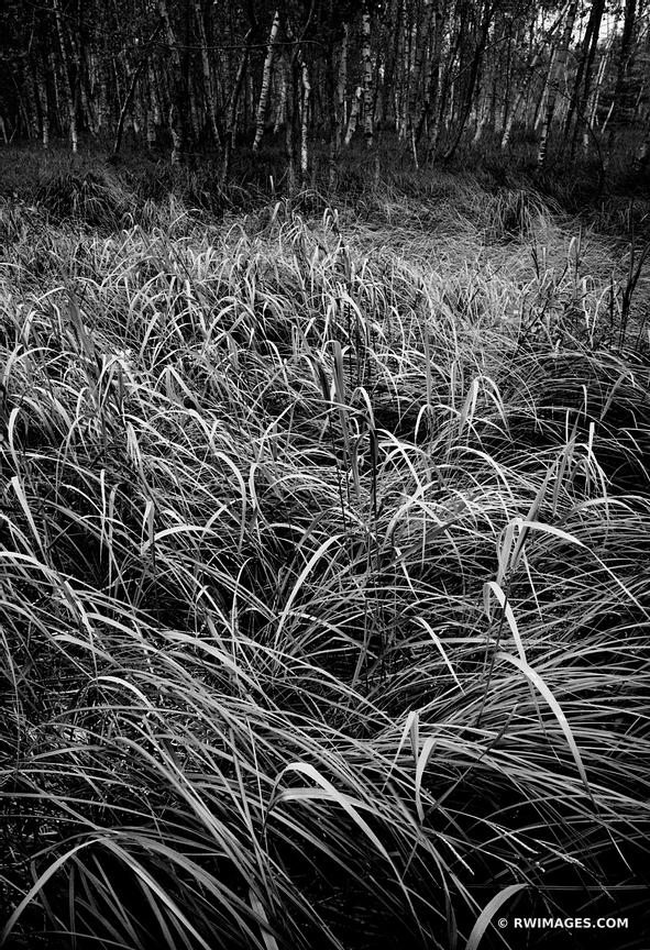 TALL GRASSES IN THE WOODS JESUP PATH ACADIA NATIONAL PARK MAINE BLACK AND WHITE