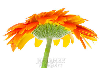 Orange Daisy Under