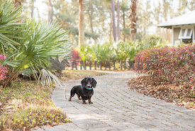 black and tan dachshund standing on brick path tropical background