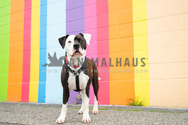 large pit bull standing in front of rainbow colored striped wall