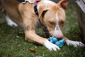 aggressive pitbull and toy