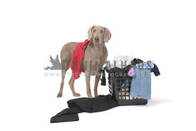 Gray weimaraner with full clothing basket on white background