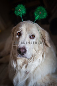 dog with shamrock headband