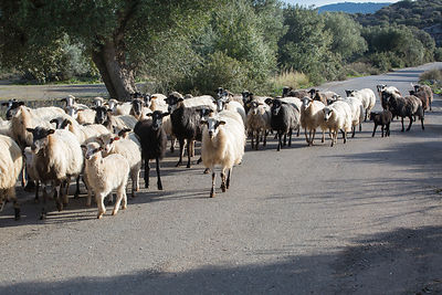 Troupeau de brebis traversant la route à Kritsa, Crète, Grèce / Flock of sheep crossing the road in Kritsa, Crete, Greece