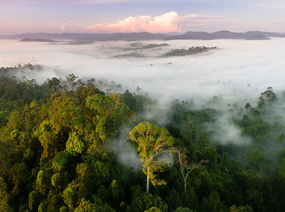 Mist and low cloud hanging over lowland rainforest, just after sunrise, with Menggaris Tree (Koompassia excelsa) prominent in...