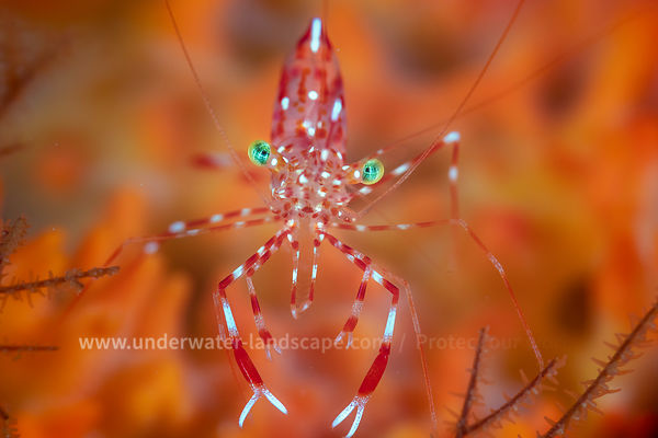 Jelly cleaner shrimp - Underwater photography