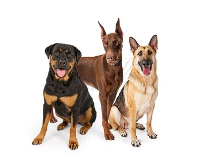 Three Large Breed Guard Dogs