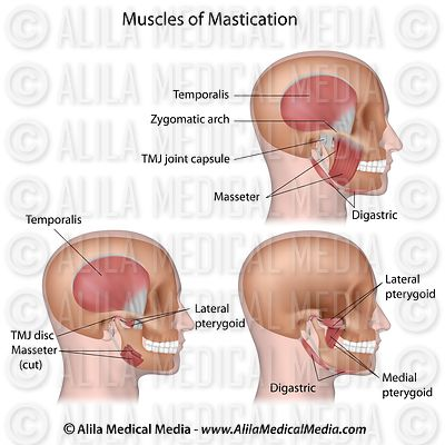Muscles of mastication labeled.