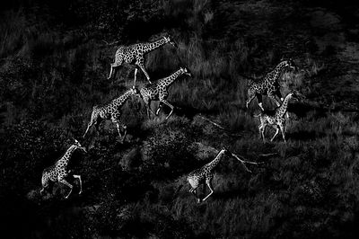 6778-Giraffes_from_the_sky_Botswana_2009_Laurent_Baheux