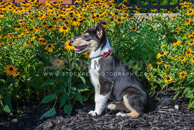 dog sitting in sunflowers
