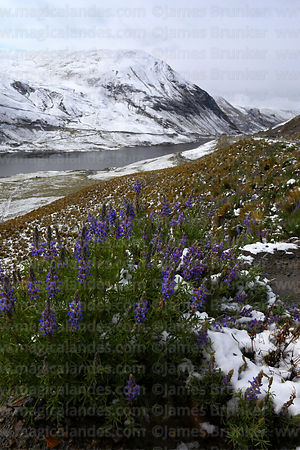 Andean lupinus species on hillside above Incachaca Reservoir near La Paz after winter snowfall, Cordillera Real, Bolivia
