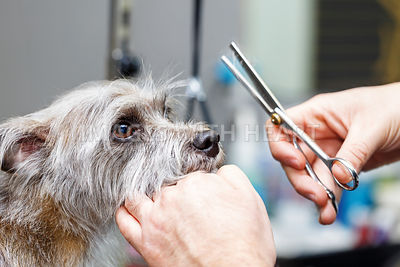 Groomer Cutting Dog Fur With Shears