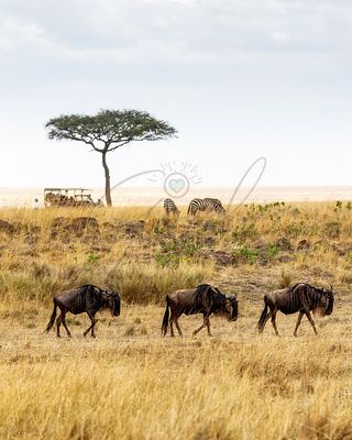 Safari Drive With Wildebeest and Zebra