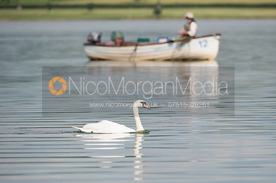 A swan swims in front of a fishing boat on Rutland Water