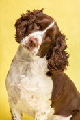Springer Spaniel with head tilting on yellow background