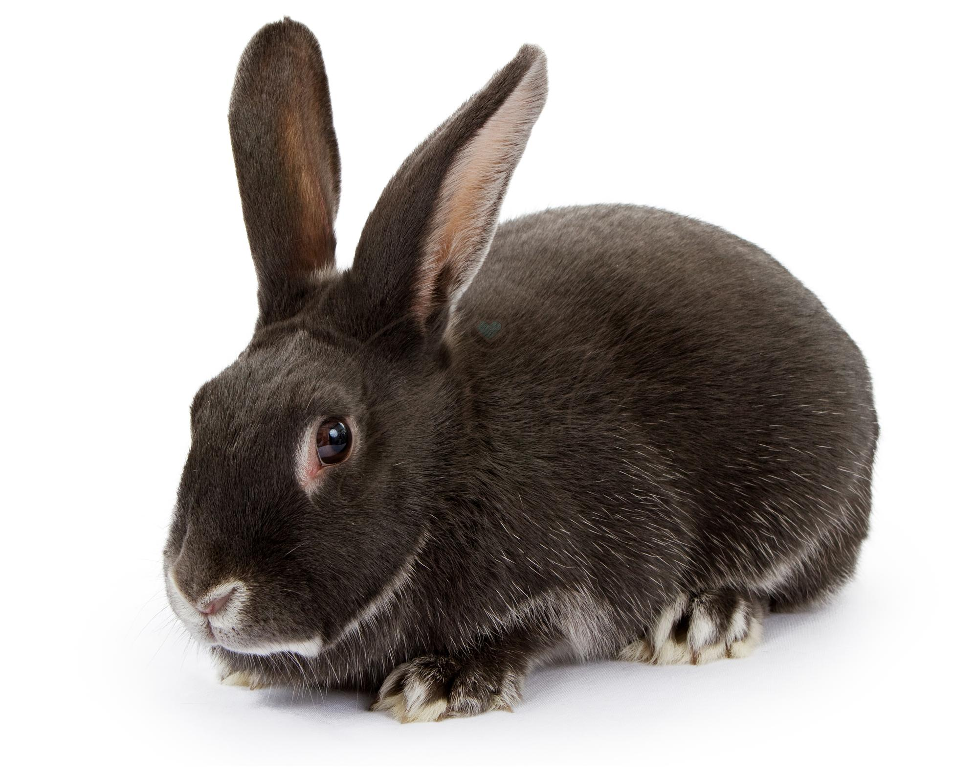 A Dark Colored Rabbit Isolated on White