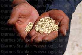 Hands holding quinoa grains, Bolivia