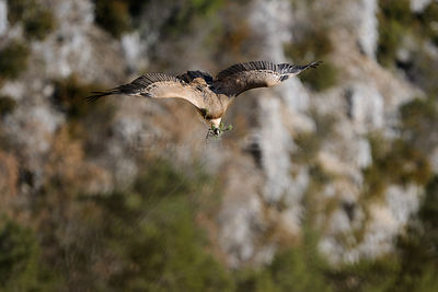 Eurasian griffon vulture (Gyps fulvus) in flight carrying nesting material, Gorges de la Jonte, France, January.